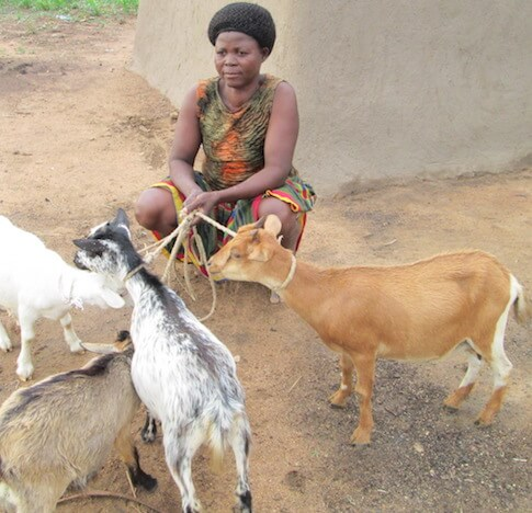 Assibi Akanpie crouching down with her goats and sheep